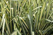 Variegated Sedge Grass