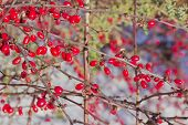 foto of barberry  - ripe red berries of barberry grow on the branches - JPG