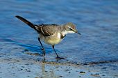 Cape wagtail (Motacilla capensis) foraging in shallow water, South Africa
