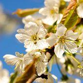 Cherry Blossom On Tree