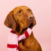 foto of vizsla  - Hungarian or Magyar Vizsla dressed for the winter isolated over blue background - JPG