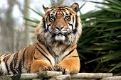 foto of tiger eye  - Tiger - JPG