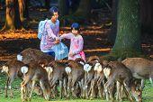 Sika Deer in Nara