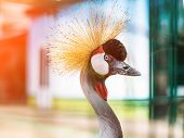 beautiful portrait African Crowned Crane