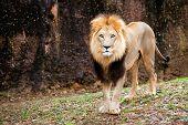 image of female buffalo  - Portrait of male lion walking in field - JPG
