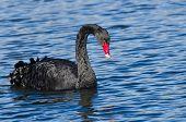 Black Swan Swimming In Blue Water