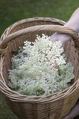 Hand holding elderflower over a basket with elderflower