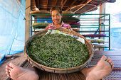 Thai woman farmer showing silkworm caterpillars livestock feeding on mulberry tree leaves,  Khon Kaen,Thailand