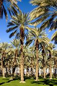 Date Palm Tree Grove