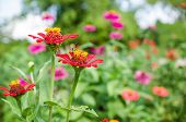 foto of zinnias  - Zinnia flower or Zinnia violacea in the garden nature and park - JPG