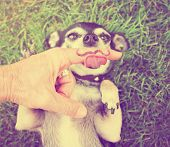 a cute chihuahua licking a mustache finger in front of him done with a retro vintage instagram filt