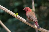 Male Red-billed Firefinch (lagonosticta Senegala) Perched On A Branch