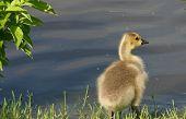 Pensive Gosling