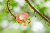 image of cannonball  - Cannonball flower and green background in the garden or nature park - JPG