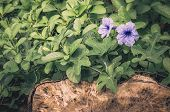 image of root-crops  - Ruellia tuberosa or Minnie Root or Fever Root or Snapdragon Root or Sheep Potato in the garden vintage - JPG