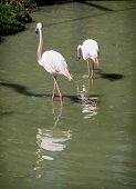 Pair Of Flamingos Wading In Water