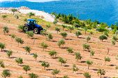 Tractor Plowing Olive Groves By The Sea In Dalmatia