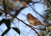 picture of sun perch  - Song Sparrow perched on branch in morning sun - JPG