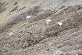 pic of denali national park  - Dall Sheep Grazing in Tundra of Denali National Park Alaska - JPG