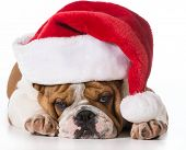 christmas dog - english bulldog wearing santa hat on white background