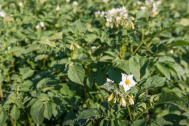 image of solanum tuberosum  - Closeup of yellow and white blossoming Potato or Solanum tuberosum plants in late afternoon sunlight in the beginning of the summer season - JPG