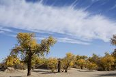 Poplar Tree In Autumn Season