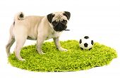 Funny, cute and playful pug dog with ball on green carpet isolated on white