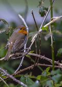 foto of red robin  - Robin Red Breast On Branch in Ireland - JPG