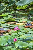 Pink Lotus Flower Lily Pads Garden Beijing China