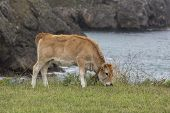 Cow Calf Asturian Race