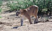 image of mountain lion  - Mountain Lion on the prowl