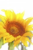 Closeup of sunflower on plain background