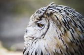 bird, beautiful owl with gray and white feathers, orange eyes