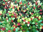 pic of rowan berry  - Red rowan berries  - JPG