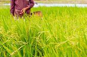 farmer on rice field