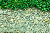 Gray Stone Wall Background And Ivy Leaves Green Plants