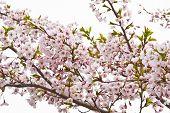 Sakura Blooming Flowers