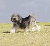 foto of sm  - A profile view of a black gray and white petit chien lion (little lion dog) walking on the grass. Lowchen has a long wavy coat groomed to resemble a lion i.e. the haunches back legs and part of the tail are shaved.