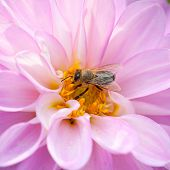 Bee And Pink Dhalia