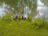 stock photo of baby duck  - dubbling duck mother in water with babies - JPG