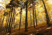 Autumn beech forest on a sunny morning