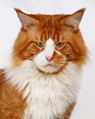 Closeup Ginger Maine Coon Cat