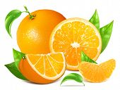 Fresh ripe oranges with green leaves and water drops. Vector illustration.
