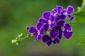 Purple blue duranta or Golden dewdrop flower