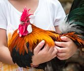 Child's Hand Hugging Rooster