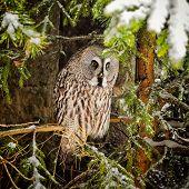 Big Grey Owl At Tree In Winter