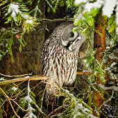 Big Grey Owl At Tree In Winter4