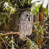 Big Grey Owl At Tree In Winter5