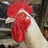 Mature Rooster On The Poultry Yard
