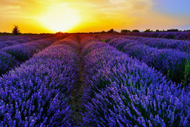 picture of plateau  - Stunning landscape with lavender field at sunset - JPG